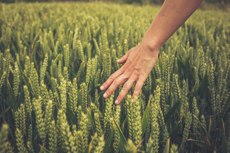 A woman s hand touching crops in a wheat field photo