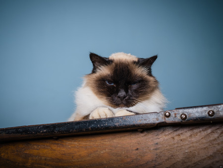 grumpy: A Birman cat is sitting on a desk with a grumpy look on his face Stock Photo