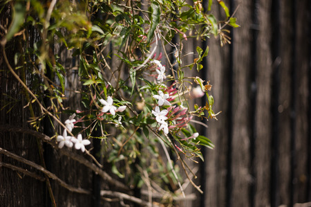 jasmine bush: A jasmine bush growing by a wooden fence Stock Photo