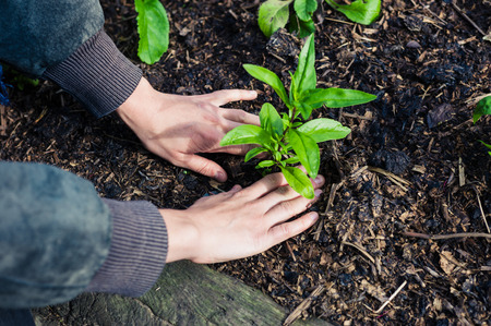 The hands of a young female gardener planting  some small plants in a garden Archivio Fotografico