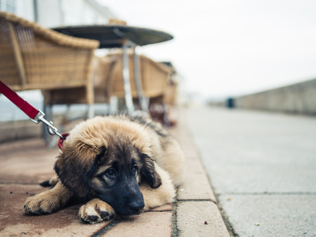 A cute young Leonberger puppy is lying on the pavement under a table at a cafe outside