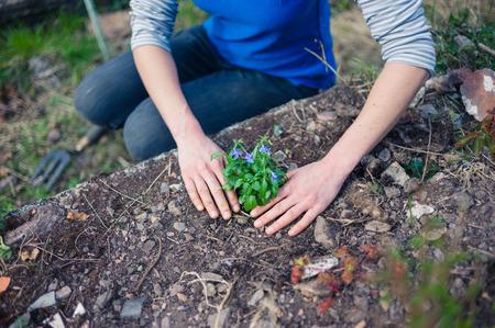 lobelia: A young woman is planting a lobelia in her garden