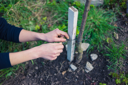 stake: A young woman is in her garden and is tying a tree to a stake Stock Photo