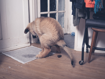 pad: A big Leonberger puppy is epic failing at potty training and doing a poo on the floor