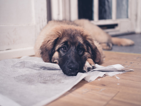 housebreaking: A young Leonberger puppy is lying with her face on her dirty and soiled training pad