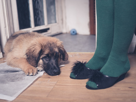 housebreaking: A young Leonberger puppy is lying on the floor with her head in her dirty training pad next to the legs of a woman wearing slippers