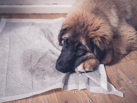 若いレオンベルガー子犬は彼女の顔に彼女の汚い、汚れたトレーニング パッドで横になっています。