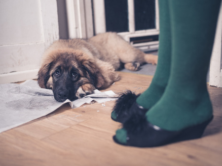 wearing slippers: A young Leonberger puppy is lying on the floor with her head in her dirty training pad next to the legs of a woman wearing slippers
