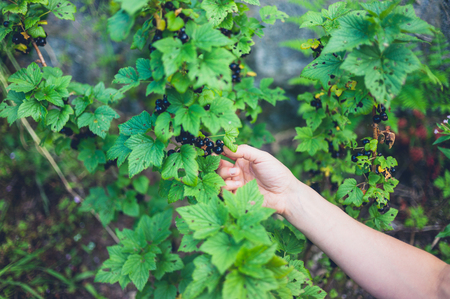 picking hand: A female hand is picking black currants Stock Photo