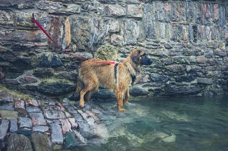 perro asustado: Un perro está atado por el río Foto de archivo