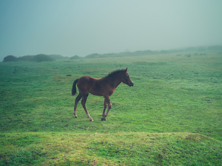A young horse is running in the fog on the moor Stock Photo