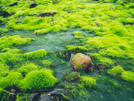 Green seaweed and algae on rocks by the sea