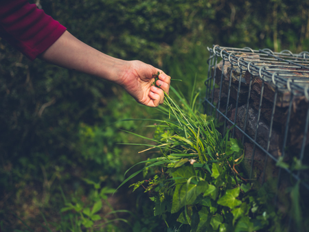 The hand of a young woman as she is pulling weeds in the garden Stock Photo