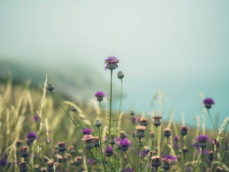 Wild thistles in the fog on a cliffside Stockfoto