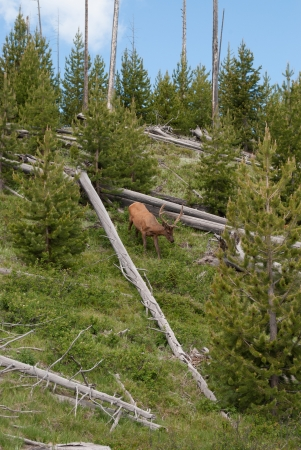 descends: A moose descends a hill in Yellowstone National Park