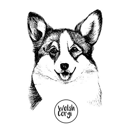 pembroke: close up portrait of welsh corgi Pembroke . Hand drawn domestic pet dog illustration. Isolated on white background. Illustration