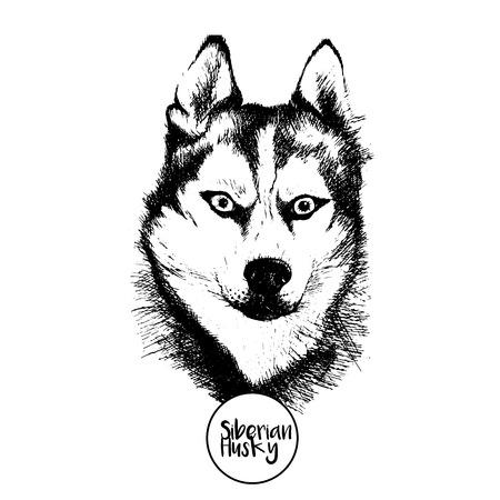 Vector retrato de cerca de Husky siberiano. Dibujado a mano ilustración perro mascota doméstica. Aislado en el fondo blanco.