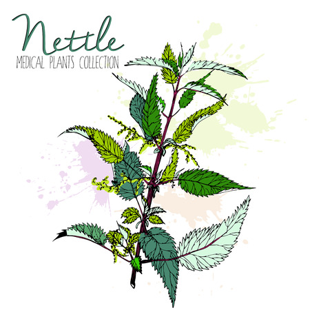 nettle: Vector hand drawn Stinging nettle branch. Colored vintage illustration of medical wild plant. Isolated on white background. Use for medicine, tea, detox and food. Illustration