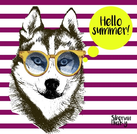 sunglassess: Vector close up portrait of siberian husky wearing the sunglassess. Bright hello summer husky portrait. Hand drawn domestic pet dog illustration. Isolated on background with lilac stripes. Illustration