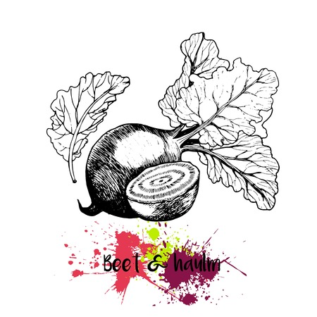 haulm: Vector hand drawn illustration of beet with haulm. Engraving garden fresh vegetable isolated on white background. For cocktail, smoothie, cooking and salsds.