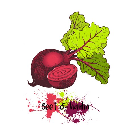 haulm: Vector hand drawn illustration of beet with haulm. Engraving color  garden fresh vegetable isolated on white background. For cocktail, smoothie, cooking and salsds.