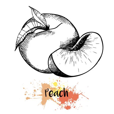 Vector hand drawn illustration of peach or apricot or nectarine fruit. Engraving summer fresh fruit isolated on white background. For cocktail, smoothie, desserts and salsds. Vettoriali