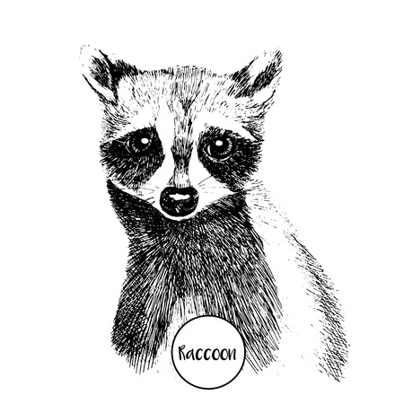 wild animal: Vector close up portrait of raccoon. Hand drawn wild mammal animal  illustration. Vintage engraved style. Isolated on white background.