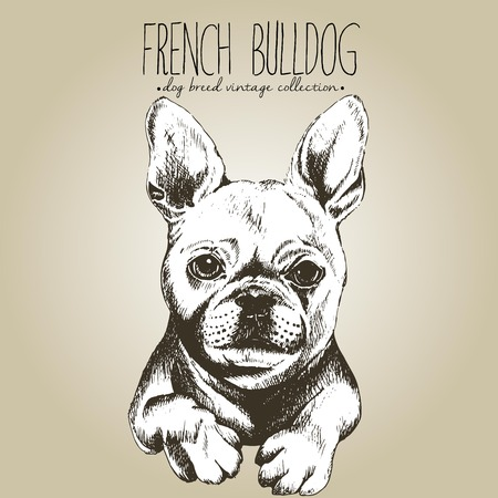Vector close up portrait of french bulldog. Hand drawn domestic pet dog illustration in shebby vintage style. Isolated on craft brown background.