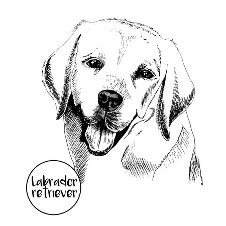 Vector close up portrait of labrador retriever. Hand drawn domectic dog illustation. Vintage engraved style. Isolated on white background.
