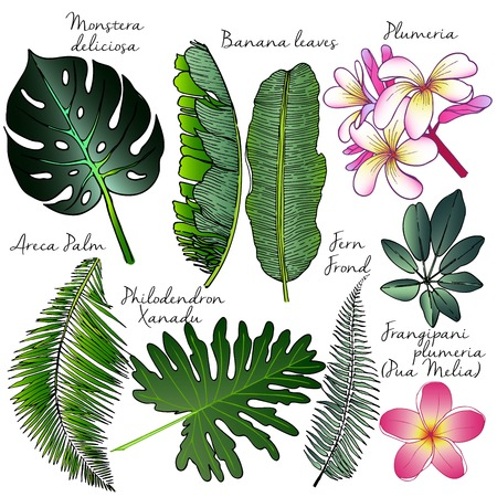 philodendron: set of palm leaves. Exotic botanical illustration. Engraved hand drawn vintage illustration. Plumeria, banana, areca, philodendron, fern.