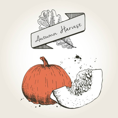 cocking: Vector hand drawn illustration of pumpkin slices. Engraved colored autumn vegetable isolated on vintage background. Harvest for cooking.