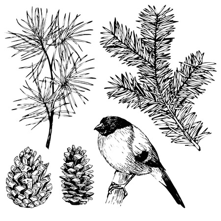 evergreen trees: VEctor hand drawn fir, pine branches, pinecone and bullfinch. Vintage engraved botanical illustration. Christmas decoration. Monocrome  illustration. Use for Xmas holiday decorating.