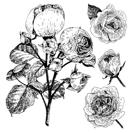 Vector hand drawn illustration of English roses. Vintage engraved style. Botanical monocrome floral art. Use for wedding decor, greeting card, birthday, Valentine, international woman day.