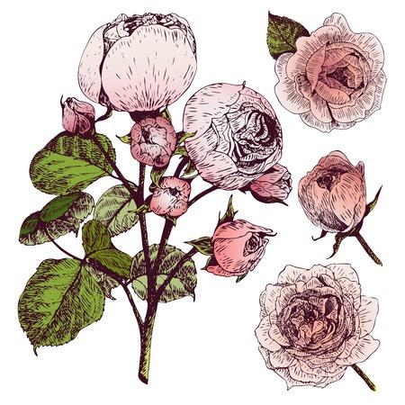 rose garden: Vector hand drawn illustration of English roses. Vintage engraved style. Botanical art isolated on white background. Use for wedding decor, greeting card, birthday, Valentine, international woman day. Illustration