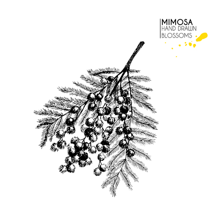 Vector hand drawn mimosa twig. Isolated on white background.