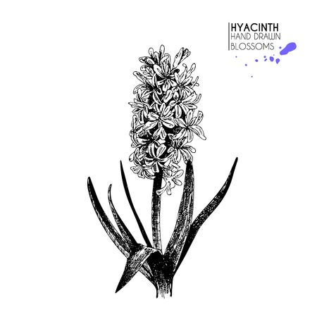 Vector hand drawn hyacinth. Isolated on white background.