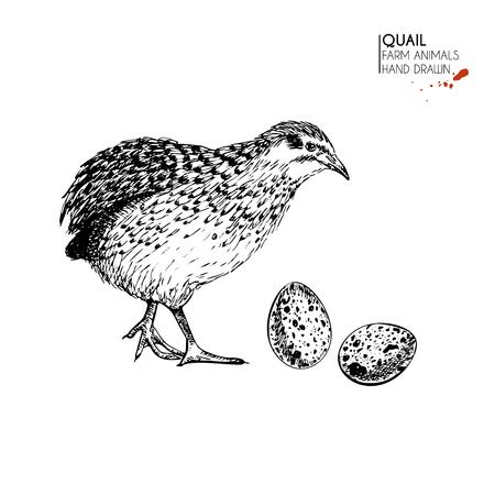 Gezeichneter Satz des Vektors Hand Vieh. Lokalisierter Wachtelvogel und -eier. Gravierte Kunst. Organische skizzierte Landwirtschaftsvögel. Verwenden Sie für Restaurant, Menü, Lebensmittelgeschäft, Markt, Geschäft, Partei, Mahlzeit