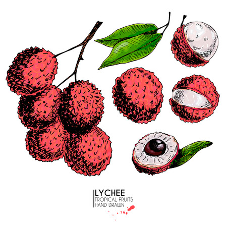 Vector hand drawn set of exotic fruits. Isolated lychee fruit. Engraved colored art.