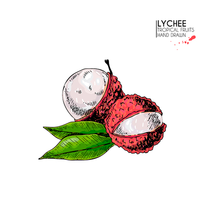 Vector hand drawn set of exotic fruits. Isolated lychee fruit. Engraved colored art. Delicious tropical vegetarian objects. for restaurant, meal, market, store, menu, party decoration, smoothie bowls Illustration