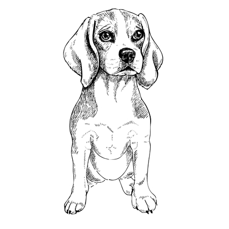 Close-up portrait of sitting Beagle dog. Vector engraved art. Friendly smilling puppy isolated on white background. Pet shelter, poster, clothing prints. Sketched poster. Illusztráció