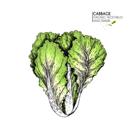 白菜野菜の手描きの手描き着色色アートオーガニックスケッチオブジェクトは、レストラン、メニュー、食料品、市場の店、パーティーの食事に使