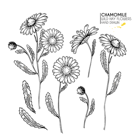 Hand drawn wild hay flowers. Chamomile or daisy flower. Vintage engraved art. Botanical illustration. Good for cosmetics, medicine, treating, aromatherapy, nursing, package design, field bouquet