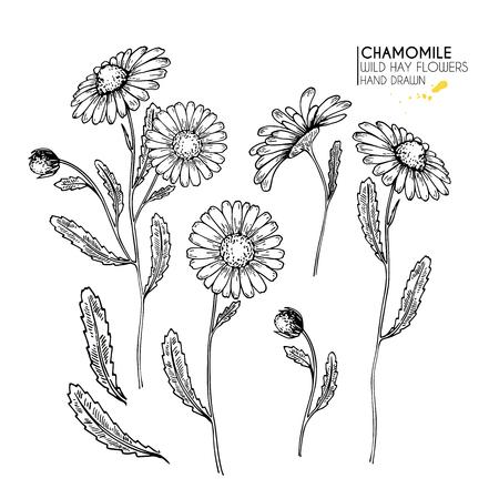 Ręcznie rysowane kwiaty dzikiego siana. Kwiat rumianku lub stokrotki. Sztuka grawerowana w stylu vintage. Ilustracja botaniczna. Dobry do kosmetyków, medycyny, leczenia, aromaterapii, pielęgnacji, projektowania opakowań, bukietów polowych