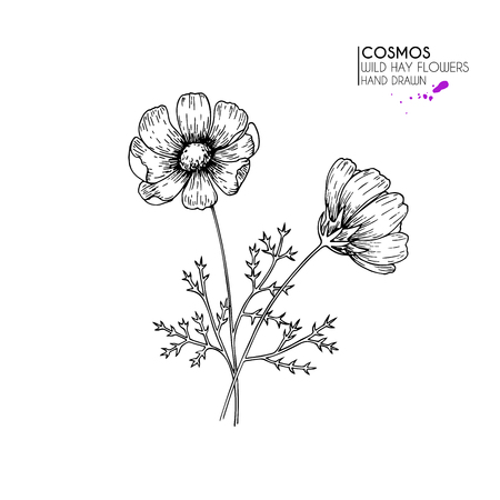Hand drawn wild hay flowers. Cosmos or cosmea flower.