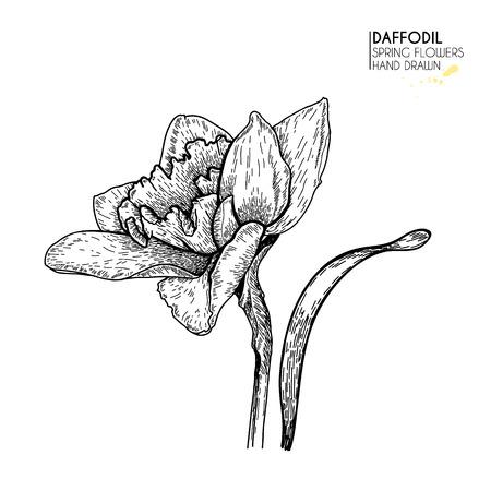 Hand drawn set of daffodil or narcissus flowers. Vector engraved art. Spring garden blossoms. Monocrome sketch. Good for wedding card, party decoration, greeting flyer, poster, banner design Ilustração