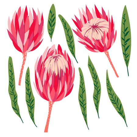Set of protea flowers. Vector digital modern art. Bright pink, red, rose ang green colors. Bloosoms and leaves. Tropical plant. Good for clothing print, flyer, banner, poster, wedding decor, design