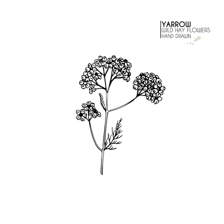 Hand drawn wild hay flowers. Yarrow milfoil  flower. Medical herb. Vintage engraved art. Botanical illustration. Good for cosmetics, medicine, treating, aromatherapy, nursing, package design field bouquet
