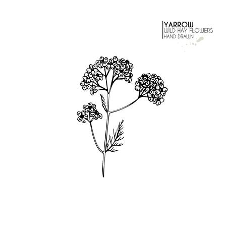 Hand drawn wild hay flowers. Yarrow milfoil  flower. Medical herb. Vintage engraved art. Botanical illustration. Good for cosmetics, medicine, treating, aromatherapy, nursing, package design field bouquet
