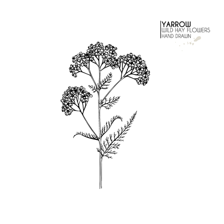 Hand drawn wild hay flowers. Yarrow milfoil. Medical herb. Vintage engraved art. Ilustracja