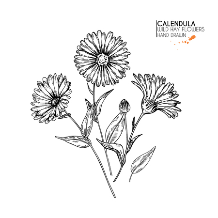 Hand drawn wild hay flowers. Calendula flower. Medical herb. Vintage engraved art. Botanical illustration. Good for cosmetics, medicine, treating, aromatherapy, nursing, package design field bouquet Ilustração